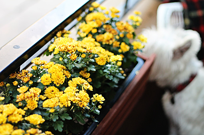 YellowMumsWindowbox